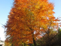 Fagus sylvatica – Rotbuche