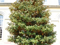 Magnolia grandiflora – immergr. Magnolie