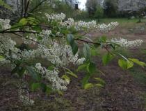 Prunus padus – Traubenkirsche