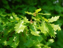 Quercus robur – Stieleiche