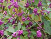Callicarpa bodinieri – chin.-Schönfrucht