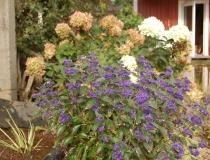Caryopteris clan – Heavenly Blue – Bartblume