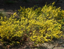 Cytisus Lydia – Steinginster