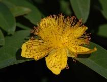 Hypericum cal. – Hidcote Gold – gr. Johanniskraut