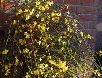 Jasminum nudiflorum – Winterjasmin
