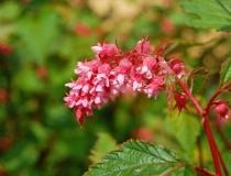 Neillia affinis – Traubenspiere