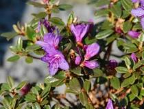 Rhododendron impeditum – Kissen-Rhododendron