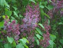 Syringa vulgaris – Flieder