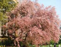 Tamarix parviflora – Frühlingstamariske