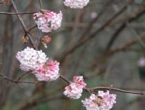 Viburnum farreri – Winter-Schneeball