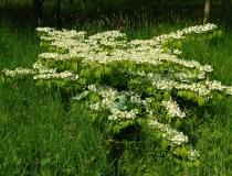 Viburnum plicatum Mariesii – Japanischer Schneeball