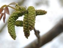 Juglans nigra – Walnuß-Blüte