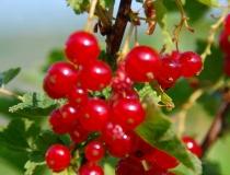 Ribes rubrum – rote Johannisbeere