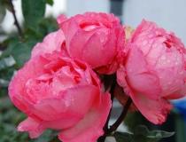 Rosa – Englische rose
