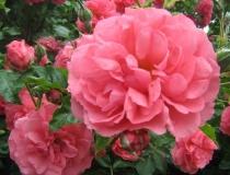 Rosa – Englische-Duftrose – rosa