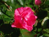 Rosa – Isabella