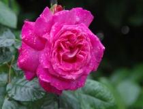 Rosa – Polyantha – rosa