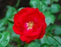 Rosa – Beetrose