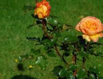 Rosa – Sunrise