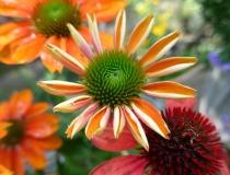 Echinacea purpurea – orange