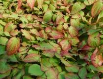 Epimdium alpinum – Elfenblume
