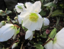 Helleborus niger – Lenzrose