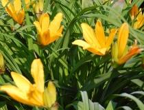 Hemerocallis middendorffii – Taglilie
