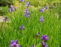 Iris sibirica – Caesars Brother – Wieseniris