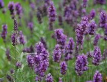 Lavandula hidcote – Blue – Lavendel