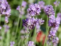 Lavandula hidcote – Lavendel