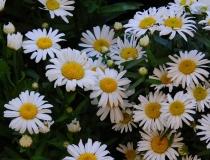 Leucanthemum Maximum – Hybride – Gartenmargerie