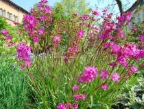 Lychnis yunnanensis – Lichtnelke
