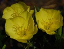 Oenothera tetragona – Nachtkerze
