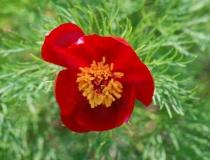 Paeonia enuifolia