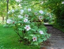 Paeonia suffruticosa – Hybride – weiß