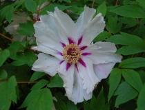 Paeonia suffruticosa – weiß