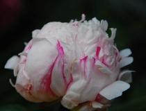 Paeonia suffruticosa – rosagestreift