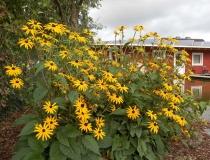 Rudbeckia fulgida – Sonnenhut