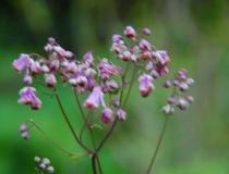 Thalictrum deavayi – Wiesenraute