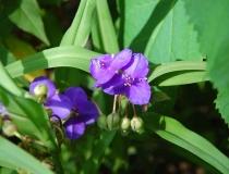 Tradescanthia – Dreimasterblumen