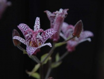 Tricyrtis formosana – Dark Beauty – Krötenlilie