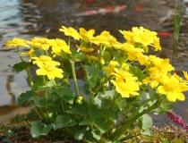 Trollius pumilus – Zwergtrollblume
