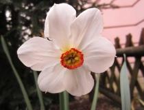 Narzissus poeticus actaea