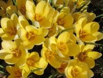Crocus botanische – gelb