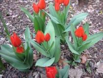 Tulipa praestans – Füsilier – Mehrblütige Tulpe
