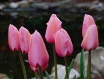 Tulipa – Tulpe