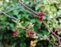 Acer jap. Aconitifolium – jap. Feuerahorn-Blüte