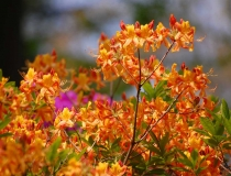 Azalea – Knapp Hill – orange