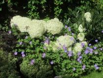Hydrangea arborescens – Annabelle