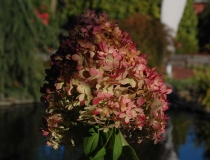 Hydrangea paniculata – Rispenhortensie